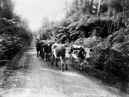 Bullock team on Heatherlea Road, Levin