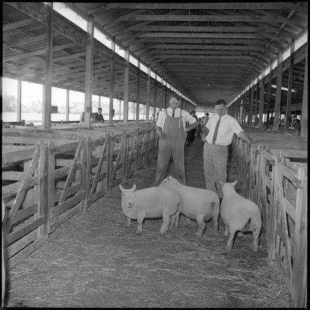 """Feilding Show"" Sheep in Stock Yards"