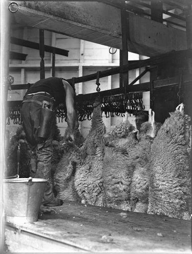 Sheep ready for skinning, Longburn Freezing Works