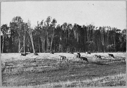 Jersey cows grazing, Whakarongo