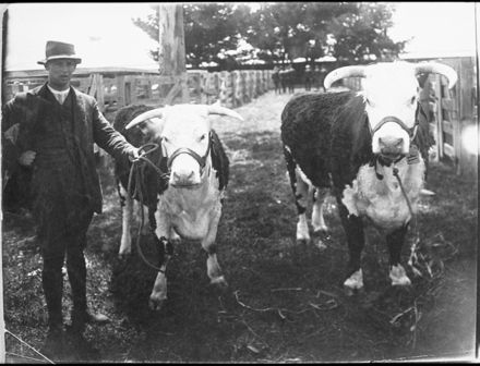 Champion Hereford cows, Feilding