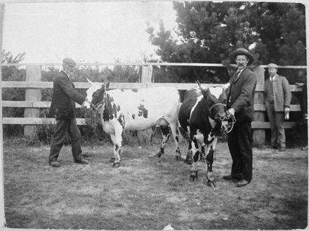 Men showing cows