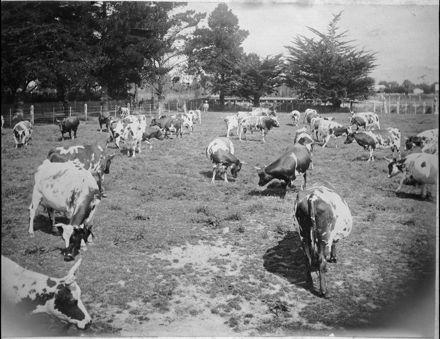 Ayrshire cows grazing, Awapuni