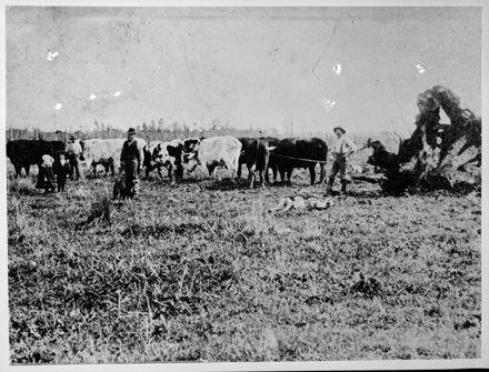 Stumping with Bullocks, Rowe's Line, Rongotea