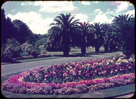 Phoenix Palms in the Victoria Esplanade, Palmerston North