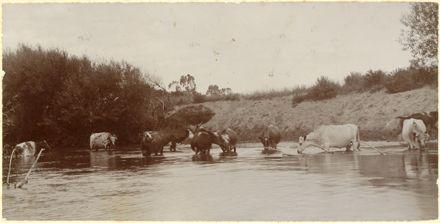Cows, Oroua River