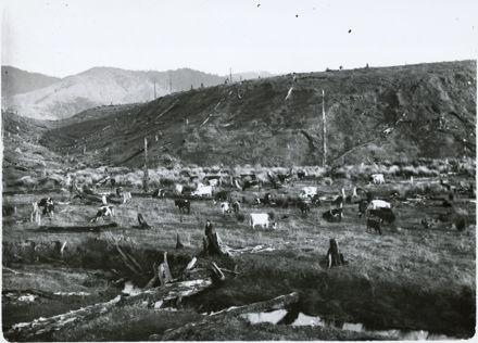 Grazing cattle, near Shannon
