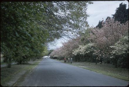 Victoria Esplanade Gardens - Cherry Trees