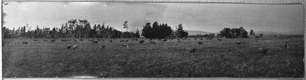 Jersey herd grazing, Whakarongo