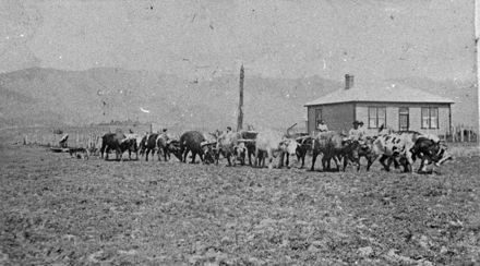 Bullock Team, Miranui Flaxmill, near Shannon