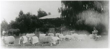 Stud Sheep Breed, Slack Family Farm
