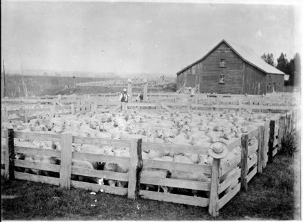 Yard of sheep at Matsubara, Bunnythorpe