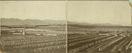 Drying paddocks at Miranui Flaxmill, near Shannon
