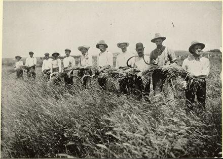 Grain seed harvest, Foxton area