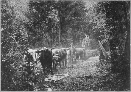 Transporting a Log by Bullock Team Through the Bush at Waituna West