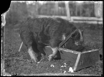 Pig Feeding from Trough