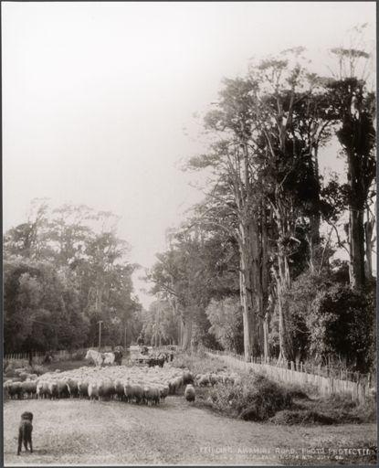 Sheep on the Feilding-Awahuri Road, 1904