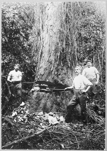 Felling a Rimu Tree at Waituna West
