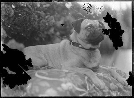 Pug (Dog) Seated on Cushion