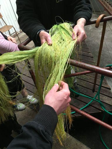 Freshly stripped flax