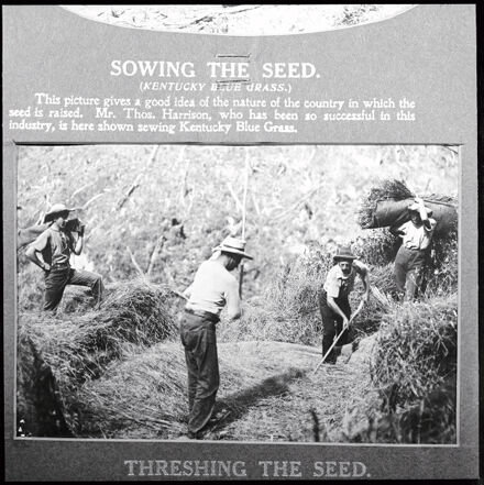 Threshing grass for seed