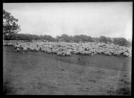 Herd of Sheep with Sheep Dogs
