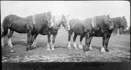 Draught horses, Bunnythorpe