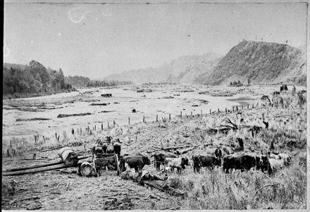 Bullocks Hauling a Log onto A Wagon