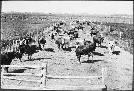 Cows walking along a race, Kairanga