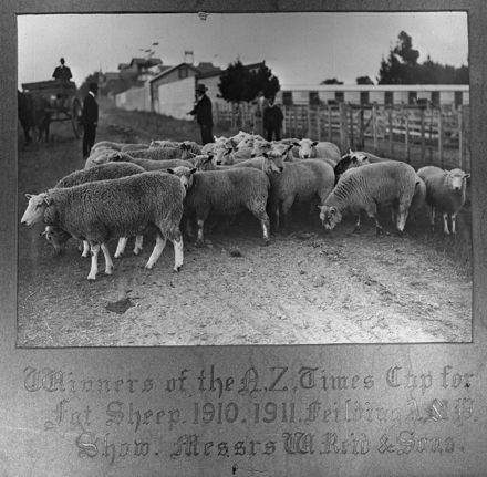 W. Reid & Sons' Prize Sheep, c. 1910